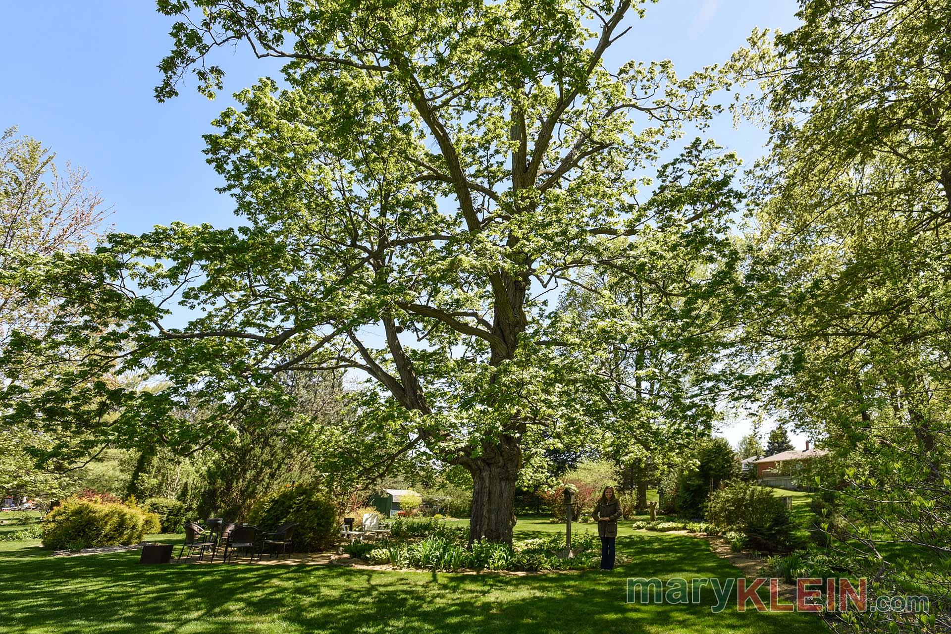Orangeville, Oldest Maple Tree,