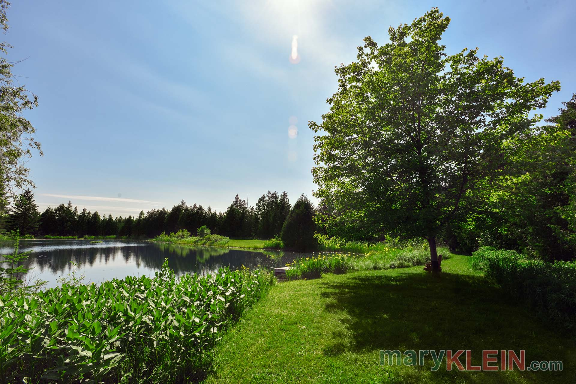 Milkweed, Pond, Maple Tree, For Sale