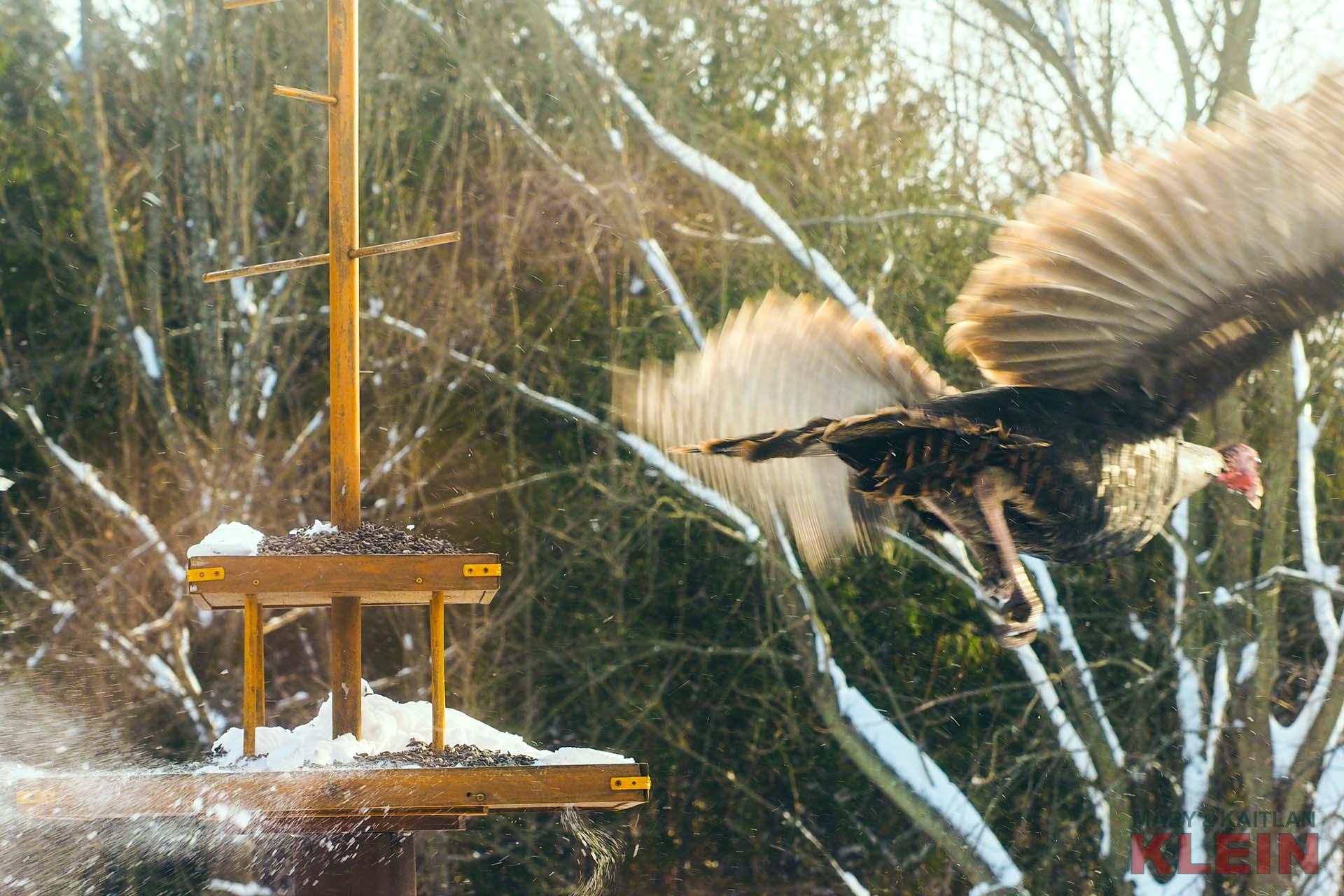 Wildlife, TUrkeys