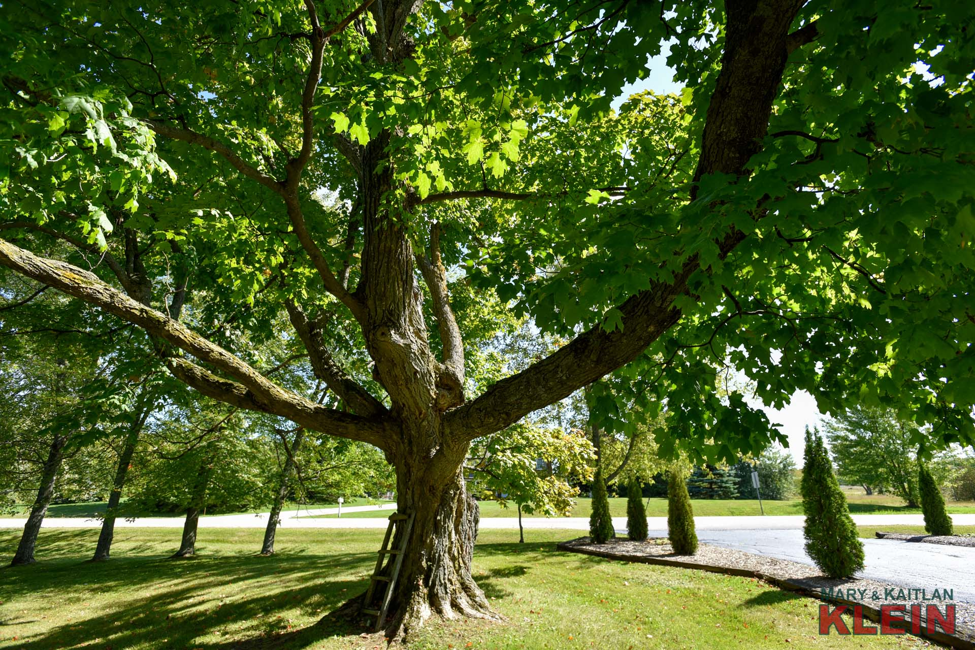 Mature Maple Trees