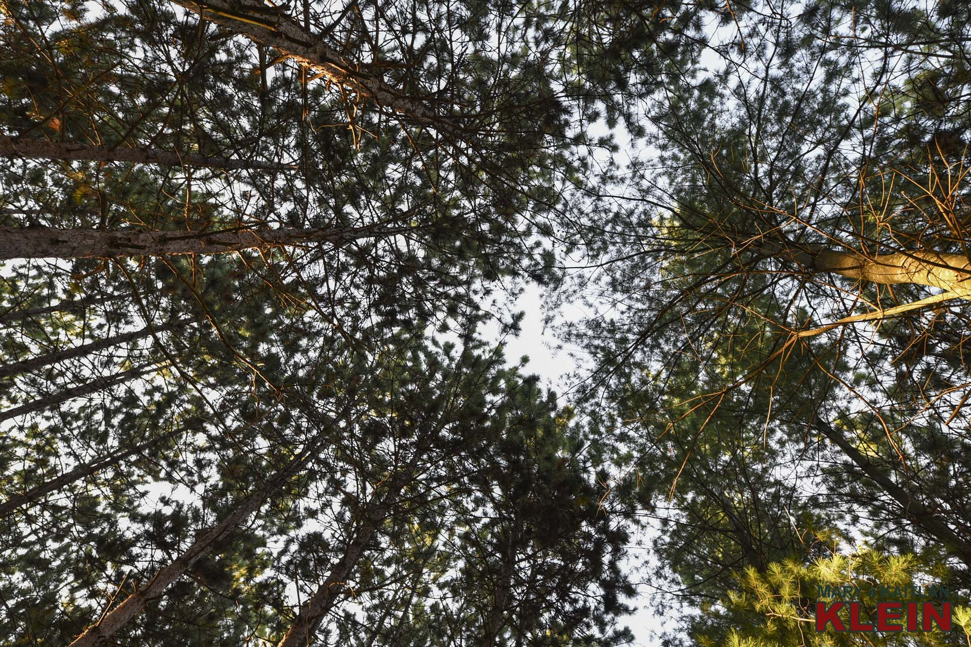 Tree Canopy, Mulmur, ON